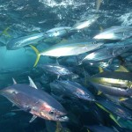 yellowfin-and-skipjack-tuna-rainbow-runners-and-mahi-mahi-c-fadioird-ifremerm-taquet