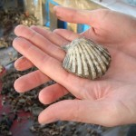 small-scallop