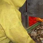 dutchflatfishsampling