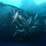 tuna-catch-c-fadioird-ifremerm-taquet