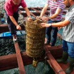 lobster-juveniles-kept-at-sea-in-oyster-lanterns