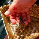 lobster-juveniles-at-igafa