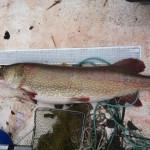 a-huge-pike-caught-by-the-trap-