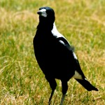 a-magpie-one-of-the-most-abundant-and-noisy-birds-of-australia