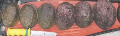 Abalone at different stages of maturation.  The immature abalone (left) and the mature animals (right; © Jeremy Prince)