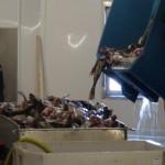 fish-carcasses