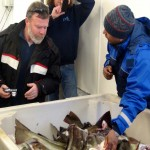british-fisherman-dave-morgan-having-a-look-at-the-cod-