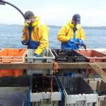 sorting-lobsters