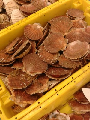 Scallops from the Channel © GAP2