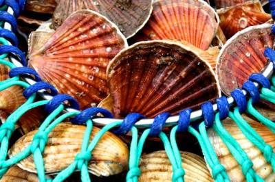 Hand dived scallops © Katrina Borrow