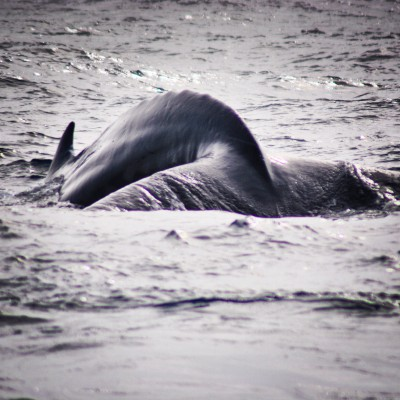 Humpback ready to dive © Emma Pearson